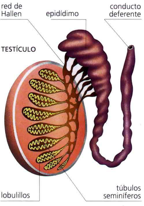 Red Testicular