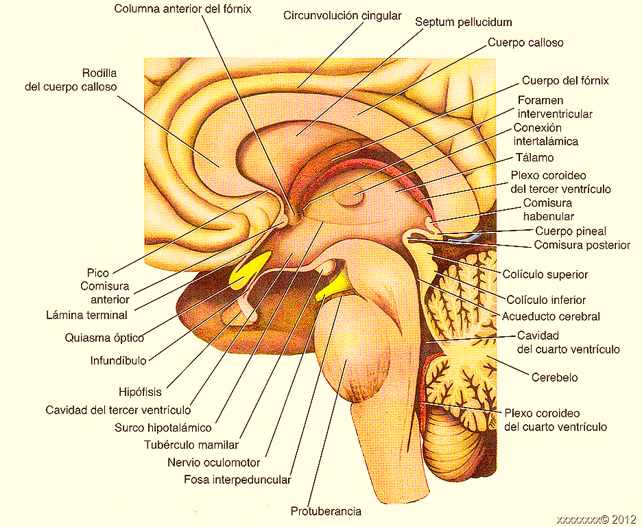Only The Diencephalon Parts - #GolfClub