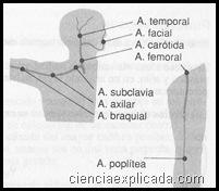 hemostasia-compresion digital